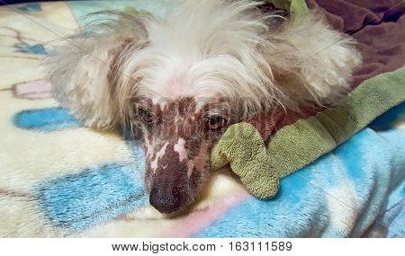 Chinese Crested Hairless dog sleeping on fleece blanket