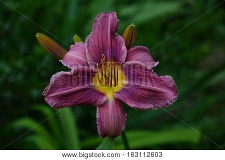 Hemerocallis. Purple daylily flowers in the summer garden.