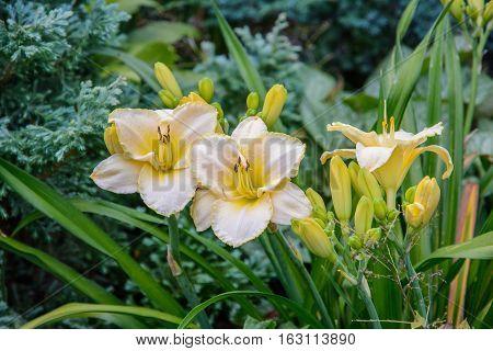 Hemerocallis. Yellow daylily flower in the summer garden.