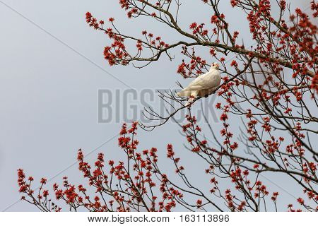 White dove perched on a tree full blossoming branches.