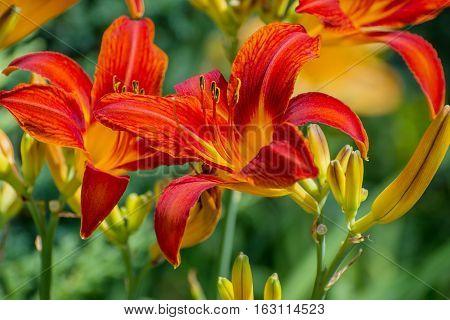 Hemerocallis. Orange daylily flowers in the summer garden.