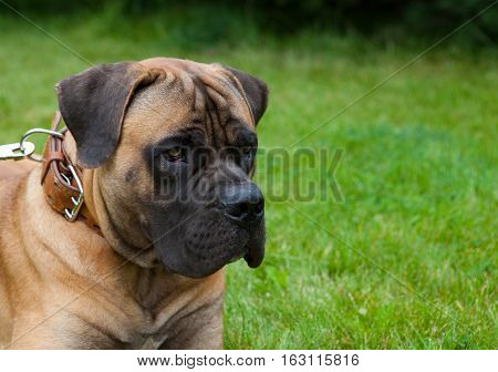 Closeup portrait. Young puppy (age five months) of dog breed South African Boerboel (South African Mastiff)
