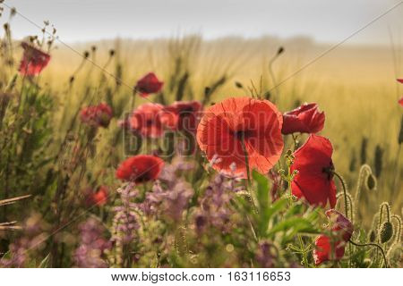SPRINGTIME.Between Apulia and Basilicata. Backlit poppies in a field with cornfield unripe. Italy. Rural landscape with vernal wildflowers.