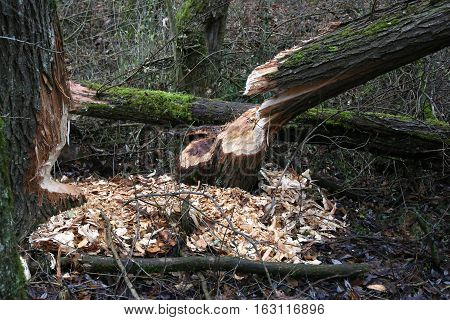 Fauna / Beaver / Felled trees beavers .