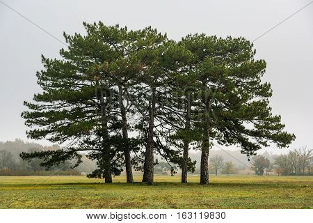 Pine-tree. Tall pine trees on a glade in the autumn garden.