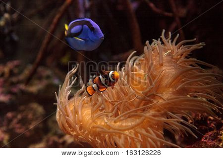 Clownfish Amphiprioninae and royal blue tang Paracanthurus hepatus  staying close to a host anemone