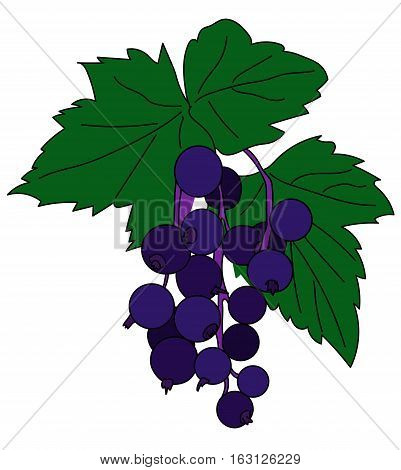 Sprig of black currant with a round blue ripe berries and green leaves on a white background.