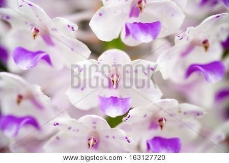 Soft focus cluse-up beautiful Rhynchostylis retusa orchids (Foxtail Orchid) in Thailand