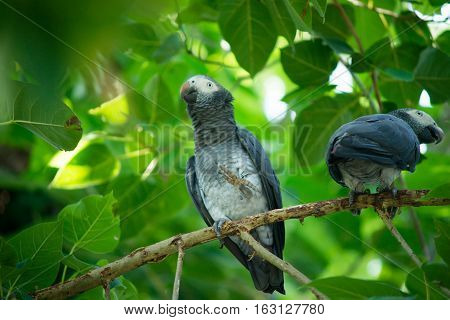 Grey parrot on a branch in the cage in the zoo