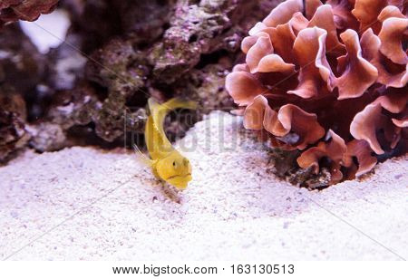 Blue Spotted Jawfish Opistognathus rosenblatti hides in its burrow in the sand in a coral reef.