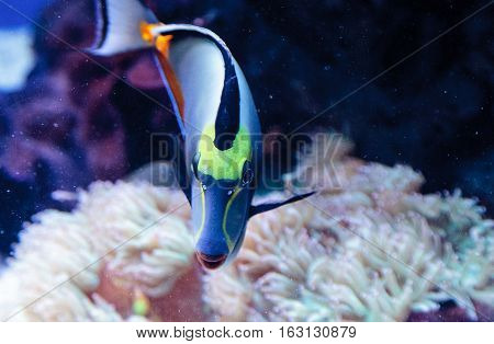 Naso tang fish known as Naso lituratus on a coral reef.