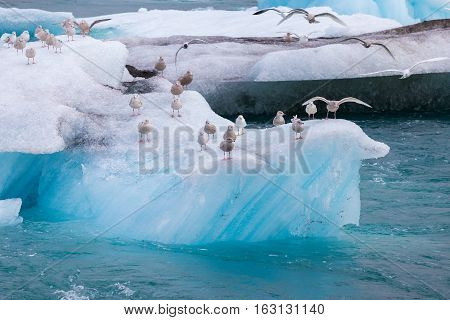Seagulls resting sitting and spreading wings on a blue iceberg floating in water