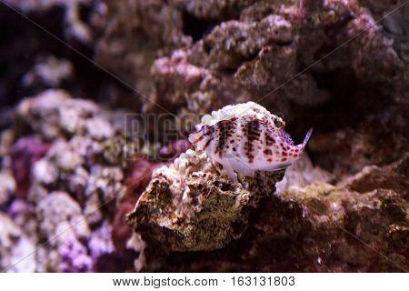 Falco hawkfish Cirrhitichthys falco perches on coral and waits for prey in a reef aquarium.
