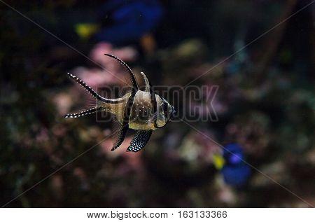 Banggai Cardinalfish Pterapogon kauderni in a mangrove swamp.