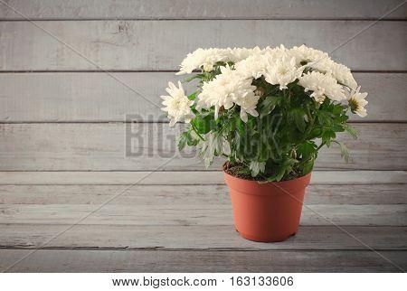 White Chrysanthemum in flower pot on grey wooden backround, horizontal, toned