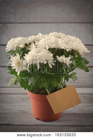 White Chrysanthemum in flower pot with gift, greeting card, on grey wooden backround, vertical, toned