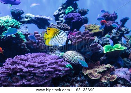 Threadfin butterflyfish known as Chaetodon auriga in a coral reef.