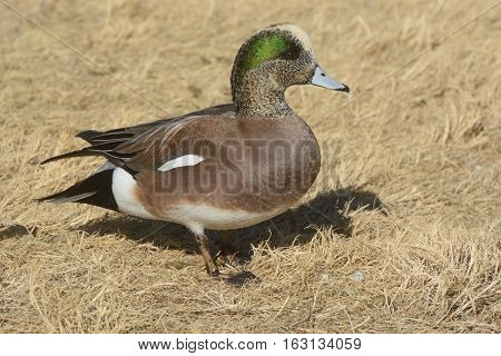 American Wigeon Duck drake in dried dead winter grasses