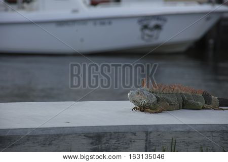 Image of an iguana resting on a seawall in Fort Lauderdale Florida