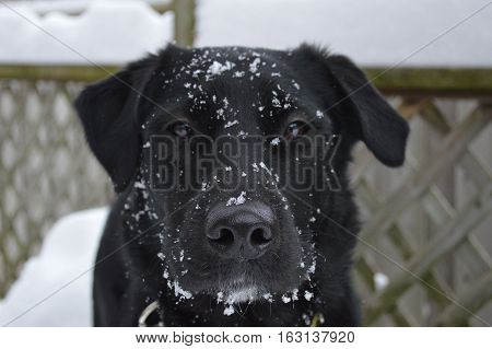 Black dog in the snow, with snow on her face.