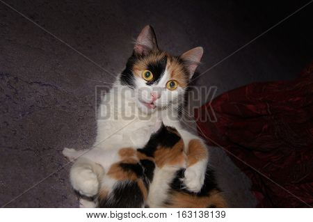 Calico cat with kitten on grey carpet