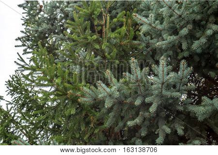 Green spruce branches on cloudy sky background