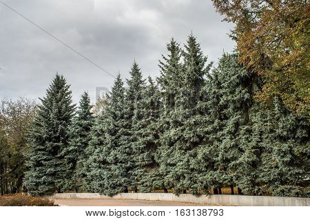 Green spruces among trees on blue sky background