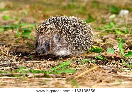 Hedgehog in grass and looking at the camera 2