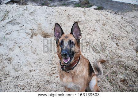 German Shepherd sitting in the sand, play