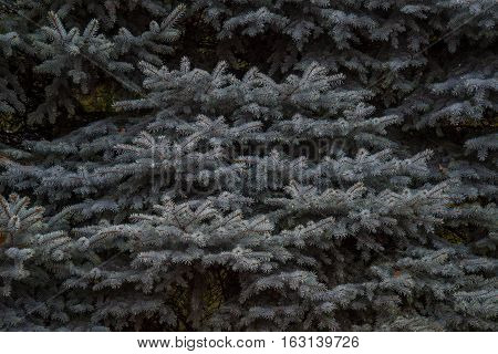 Plenty of grey blue spruce branches around