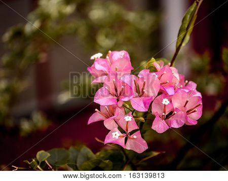 Close up view of a beautiful pink Bougainvillea flower in the garden
