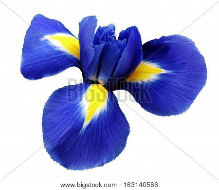 iris blue flower. white isolated background with clipping path. Closeup no shadows. Nature.