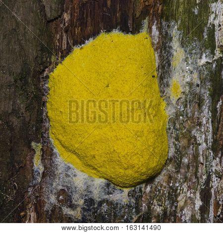 Scrambled egg Slime Mold Fuligo septica on tree close-up selective focus shallow DOF