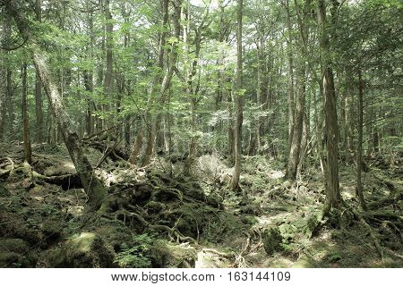 The forest in Japan for background. Natural Concept