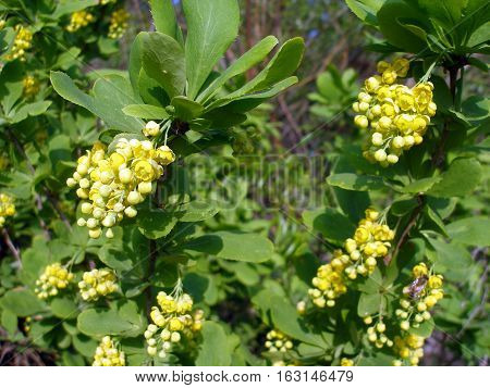 Barberry bush with inflorescences of yellow flowers and green leaves