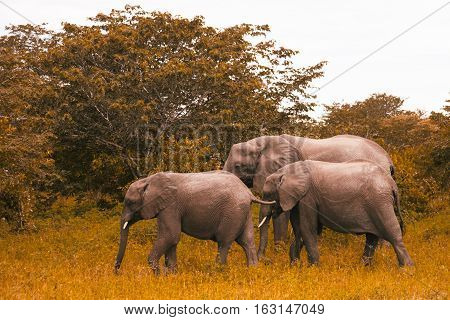 Family Of Elephants Walks And Grazes In The South African Bushes.