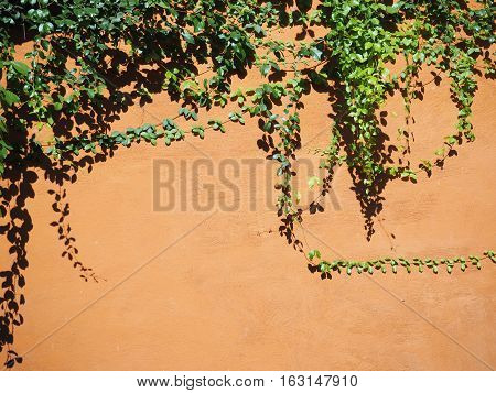 Creeper leaves on orange concrete wall with light and shadow at noon