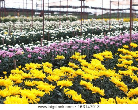 Row of colorful Chrysanthemum flowers in a greenhouse
