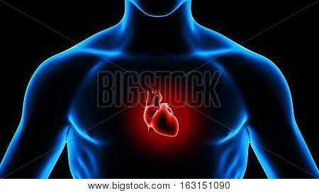 3d illustration human body heart.human body organs.