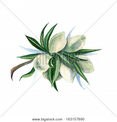 Branch of green almonds. Isolated on a white background. Watercolor illustration.
