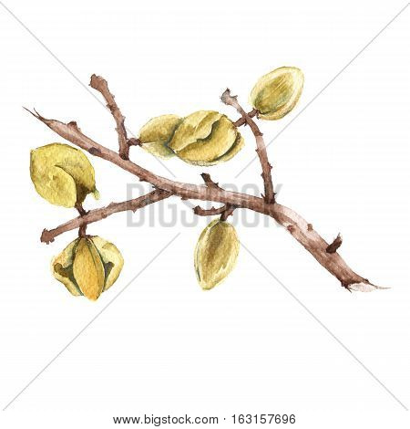 Branch of ripe almonds. Isolated on a white background. Watercolor illustration.