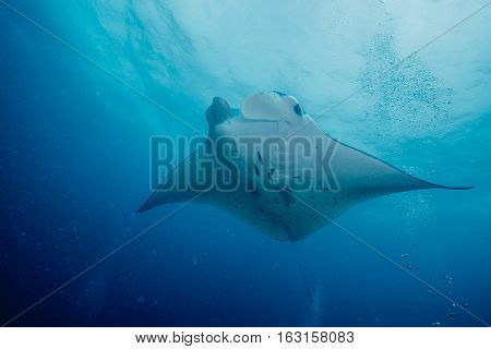 Silhouette of manta ray in Hanifaru bay