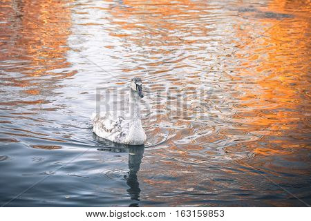 Young Swan Cygnet Swimming In The Dark Water