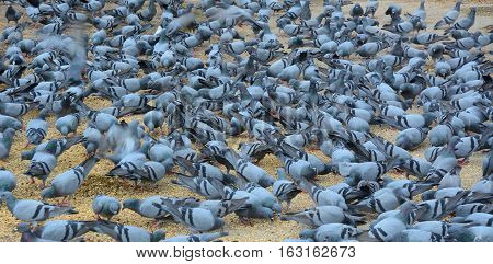 Pigeons Eating Bread On The Square