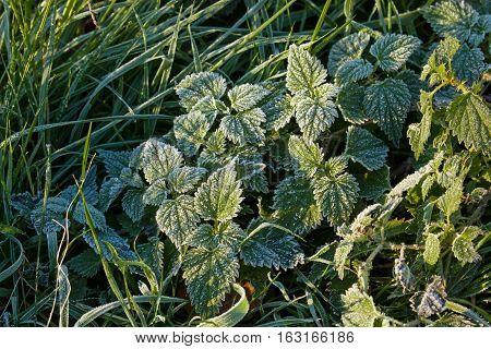 Stinging Nettles in Winter frost glistening in sunlight.