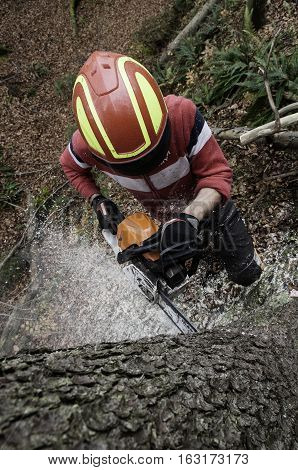 Forestry worker cutting down the spruce tree with chainsaw
