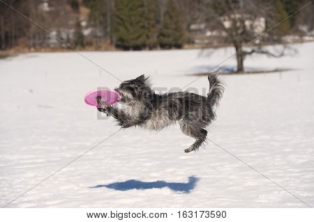 Flying dog catching his toy in the air.  He is cute little funny grey dog.