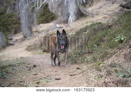 Belgian shepherd walking on path in woods.  Dog wolf is guarding his forest.