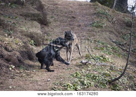 Two dogs pulling big stick to each way. They are playing and trying who is stronger.