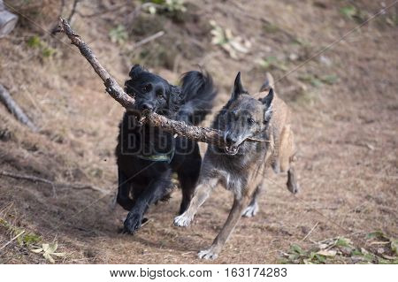 Two dogs playing and running with a stick in their mouth. They are carrying it together.